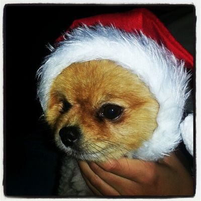 Logan claus Kuw Kuwait Q8 Q8instagram dog pet christmas cute
