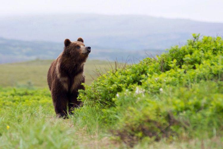 Bear One Animal
