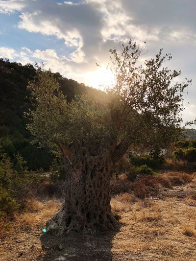Olive Sky Plant
