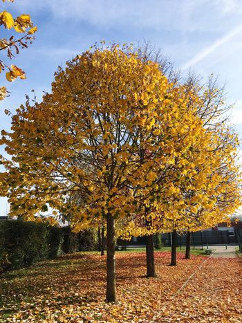 Tree Autumn Change Nature Beauty In Nature Growth No People Leaf Outdoors Scenics Day Sky Tranquility