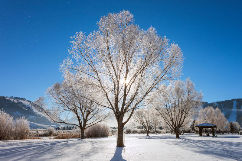 Bare trees on snowcapped field against clear blue sky