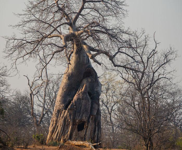 Baobab - African baobab tree in Zimbabwe, South Africa Adansonia African Baobab Tree Galton Gate Hwange-Nationalpark Reddish-browned Savannah Semidesert South Africa Zimbabwe Africa Baobab Baobab Tree Hilly Landscape Mountains Rocky Desert Safari Sahara