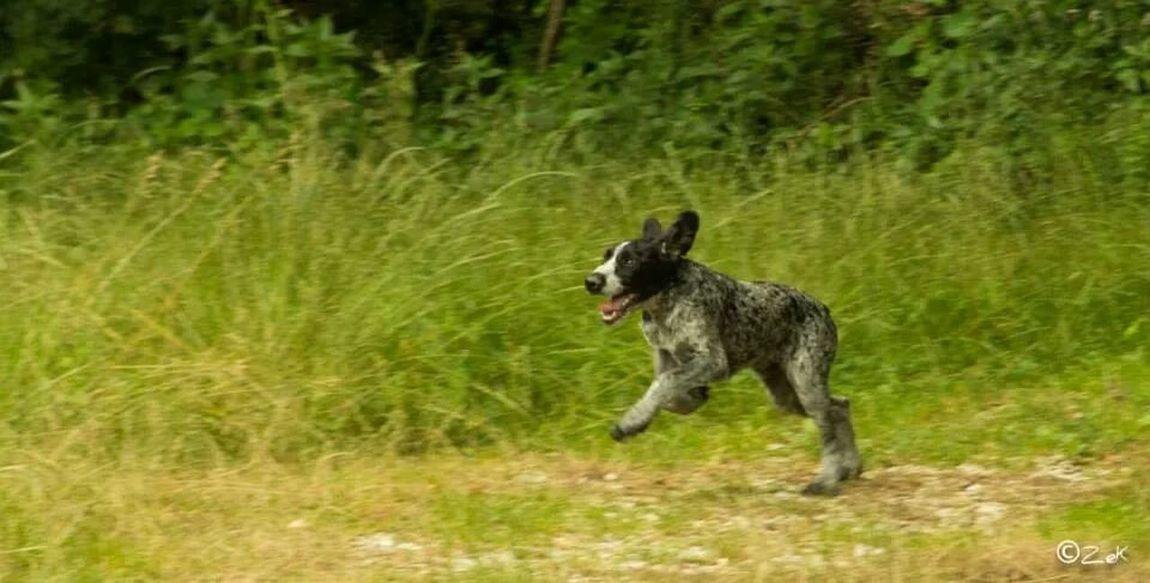 Dog Bracco