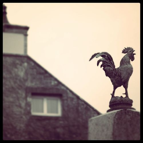 Tracysurmer France Normandy Rooster