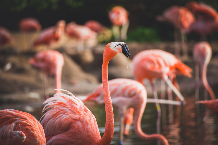 Flock of flamingos drinking at a pond Pond Animal Animal Neck Animal Themes Animal Wildlife Animals In The Wild Beak Beauty In Nature Bird Day Flamingo Flock Of Birds Focus On Foreground Freshwater Bird Group Of Animals Lake Large Group Of Animals Nature No People Orange Color Pink Color Vertebrate Water