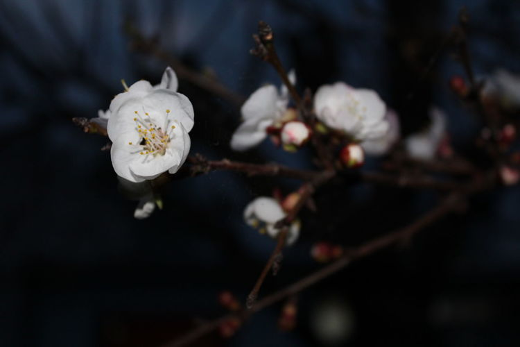 Beauty In Nature Blossom Botany Flower Fragility Freshness Nature Peach Plum Blossom Springtime White Color