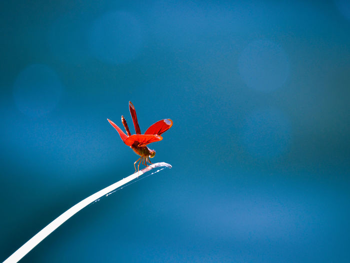 Low angle view of red flower against blue sky
