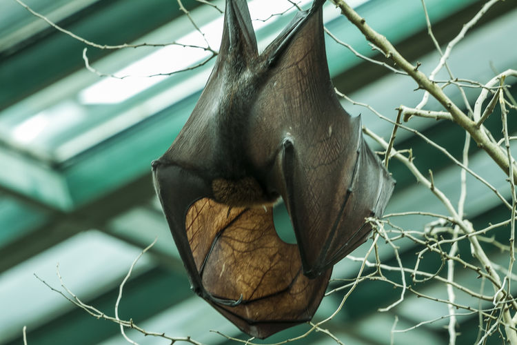 Bat Laurasiatheria Wing Animal Animal Photography Animal Themes Animal Wing Animal Wings Animals Bat Wings Focus On Foreground Hanging Murcielago Murcielagos Nature No People Wings