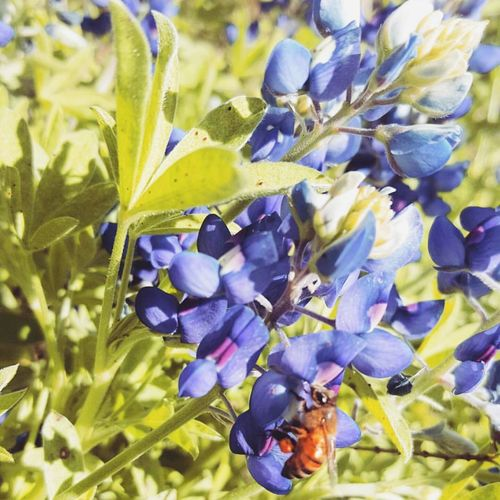 Bluebonnets Texasbluebonnets Nature Photography Eye4photography  Nature_collection Amaturephotography Texaslife Flower Collection Insect Photography In Your Face Photography Beeandflower Bee 🐝 Texas Landscape Insects Beautiful Nature Insect Paparazzi Nature On Your Doorstep Eyem Nature Lovers