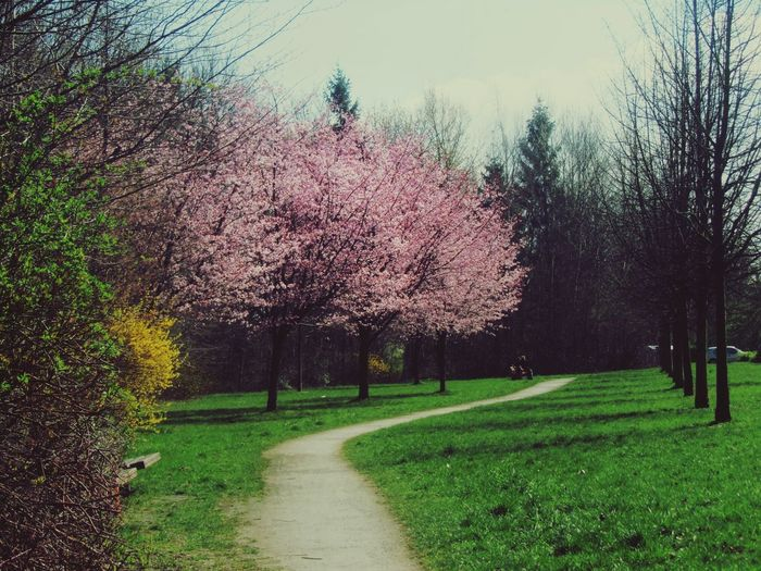 Little Park Springtime Pink Trees Green Grass Spring Colours Parkway Rostock