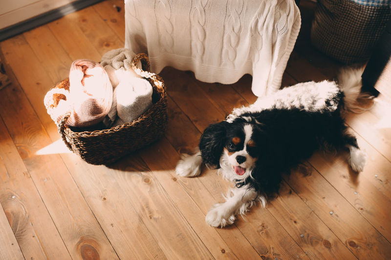 Domestic Pets Domestic Animals Dog Hardwood Floor Home Interior Lying Down Relaxation Indoors  Home Cozy Details Spaniel Cavalier King Charles Spaniel Relaxing Dog Life Dog Love