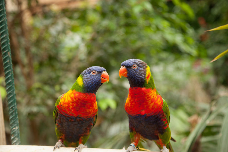 Love Animal Animal Themes Animal Wildlife Animals In The Wild Beauty In Nature Bird Close-up Day Focus On Foreground Group Of Animals Lorakeet Multi Colored Nature No People Outdoors Parrot Parrots Perching Rainbow Lorikeet Tree Two Animals Vertebrate Zoo Animals