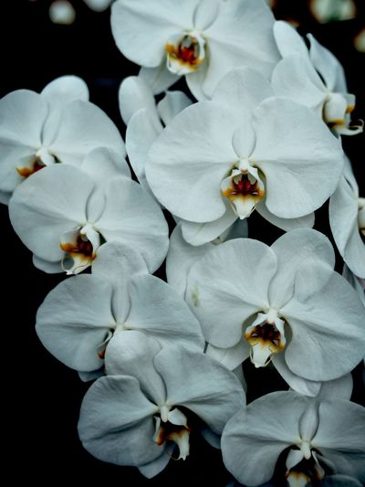 Close-up of white orchids