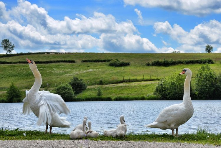 Swans Perching By Lake Against Sky