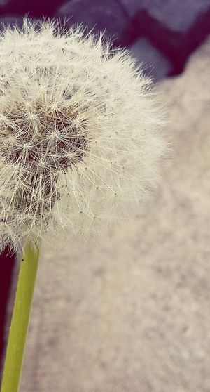 Nature EyeEm Nature Lover Nature_collection EyeEm Dandelions Dandelion Collection Dandelion Seed Head Spiringcollection Spiring Macro