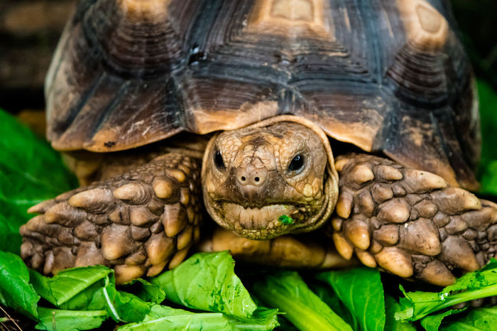 Dry land turtle eating vegetables Animal Head  Animal Shell Animal Themes Animal Wildlife Animals In The Wild Close-up Day Dry Land Turtle Dry Land Turtle Eating Vegetables Green Color Leaf Nature No People One Animal Outdoors Portrait Reptile Tortoise Tortoise Shell Turtle Turtle Eating