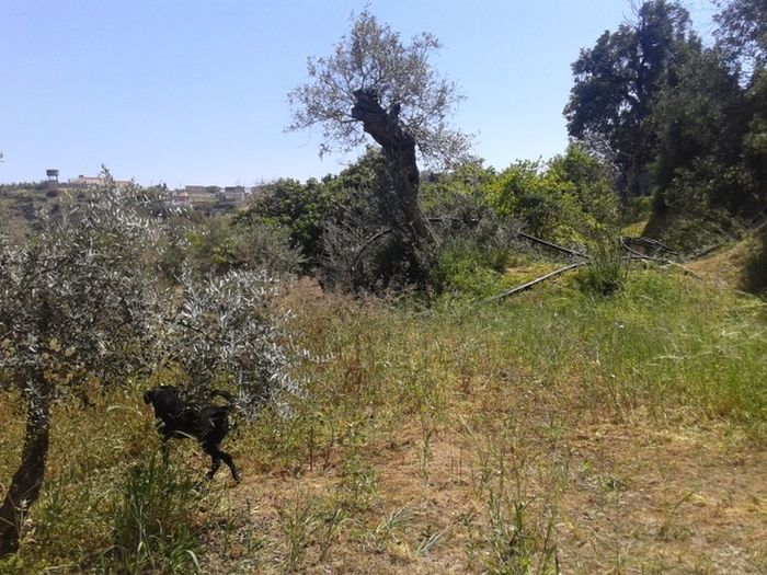 Beauty In Nature Black Dog Blacklabrador Hunting Blacklabradorretriever Day Dog In Field Field Grass Grassy Growth Hill Labrador Hunting Landscape Nature No People Non-urban Scene Olive Trees Dog Outdoors Plant Remote Scenics Sky Tranquil Scene Tranquility Tree