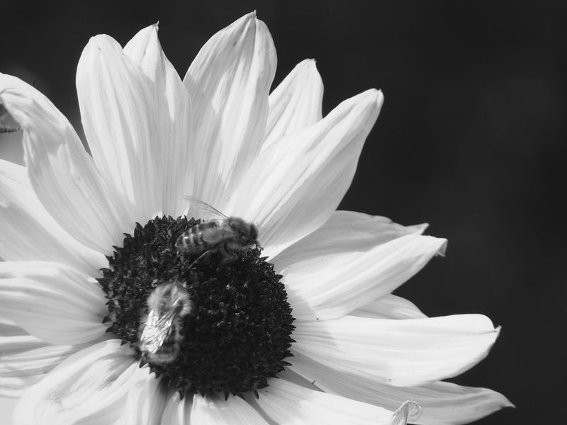 Flower Freshness Flower Head Petal Animal Themes Close-up Fragility Beauty In Nature Single Flower Blossom Sunflower Nature Black Background Pollination In Bloom Softness Black & White Plant Growth No People Extreme Close-up Bees And Flowers Bees At Work