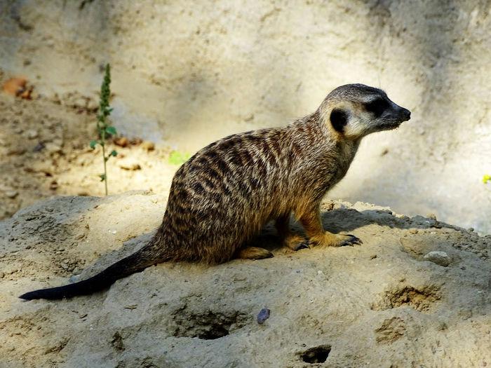 Animal Animal Themes Sand Full Length Close-up Meerkat