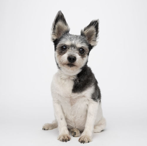 Animal Animal Head  Animal Themes Canine Cut Out Cute Dog Domestic Domestic Animals Front View Indoors  Looking At Camera Mammal No People One Animal Pets Portrait Sitting Small Studio Shot Vertebrate White Background