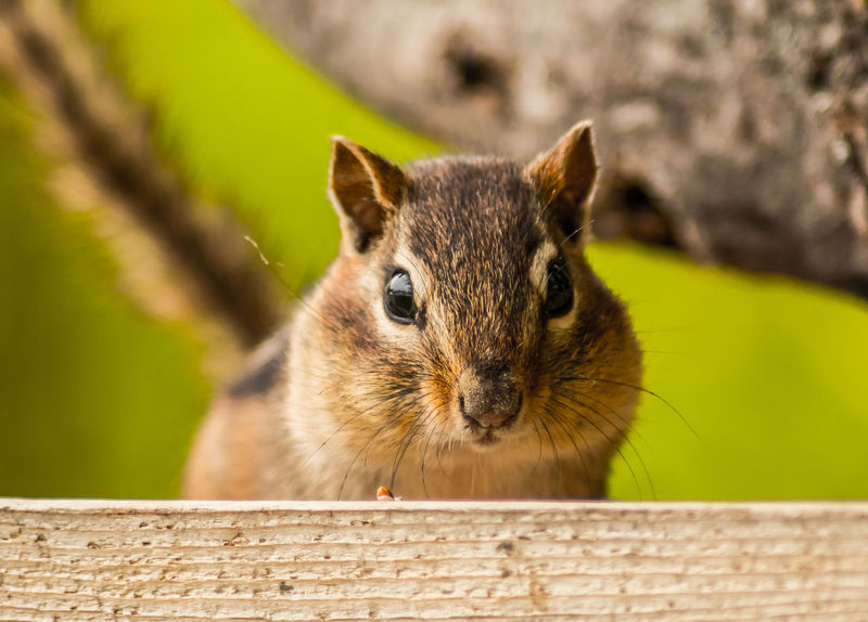 Animal Head  Animal Themes Backyard Backyard Buddies Backyard Friends Buddies Chipmunk Chipmunks  Close-up Cute Focus On Foreground Furry Friends Mammal Nature Nature On Your Doorstep Nature Photography No People Portrait Rodent Selective Focus Showcase June The Week On EyeEm Wildlife Wildlife & Nature Wildlife Photography Maximum Closeness