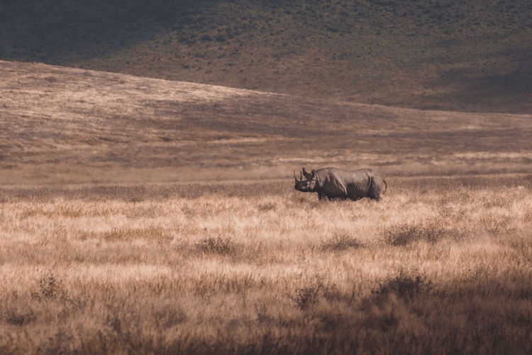 View of a black rhino roaming on the plains of the ngorongoro crater