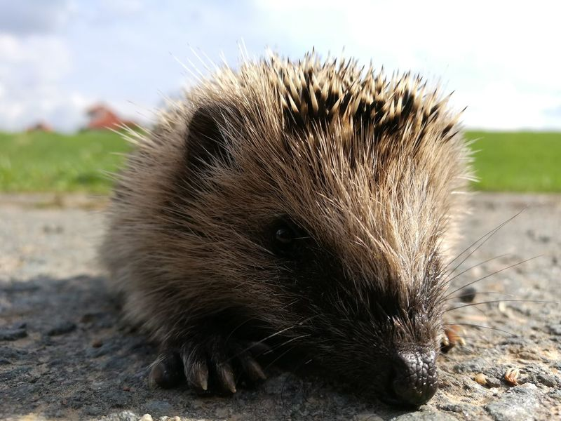 One Animal Wildlife Zoology Animal Head  Animal Hair Focus On Foreground Hedgehog Igel