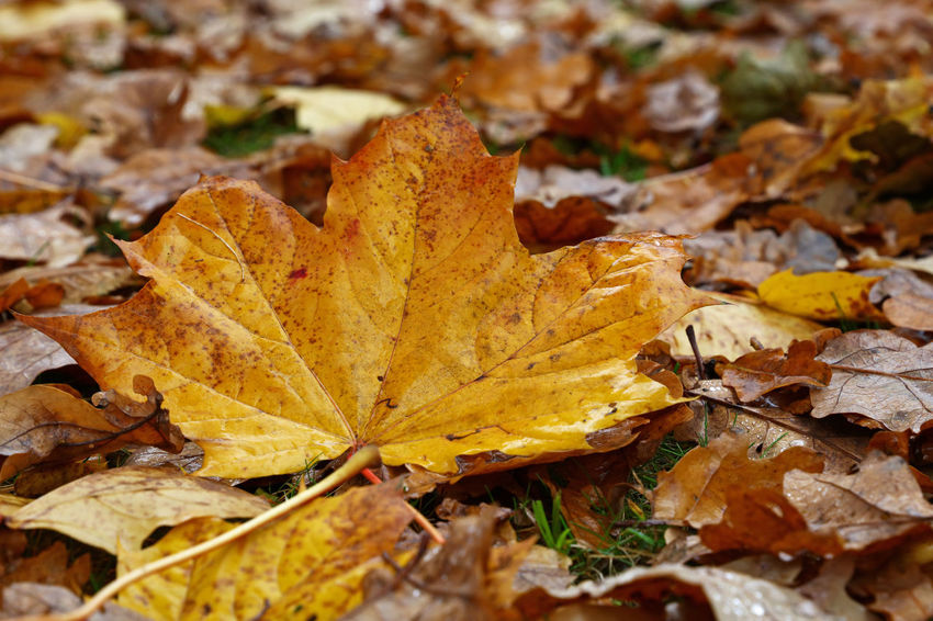 Big yellow anfd orange autumn maple leaf on the ground Paint The Town Yellow Autumn Backgrounds Beauty In Nature Brown Change Close-up Day Dry Fallen Fragility Ground Leaf Leaves Maple Maple Leaf Nature On The Ground Orange Color Outdoors Season  Yellow