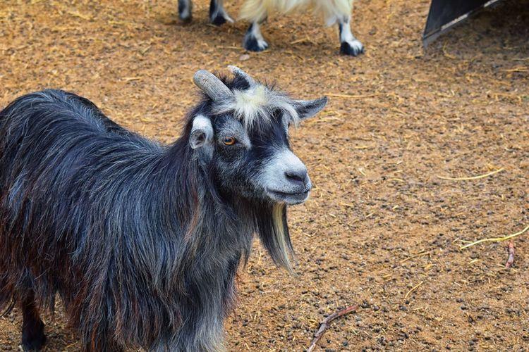 Goat standing in a field