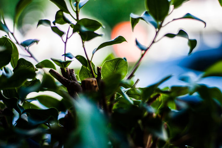 Small green leaves Growth Plant Part Leaf Plant Close-up Selective Focus Green Color Beauty In Nature Nature No People Day Freshness Outdoors Vulnerability  Fragility Blue Tranquility Plant Stem Focus On Foreground Sunlight First Eyeem Photo