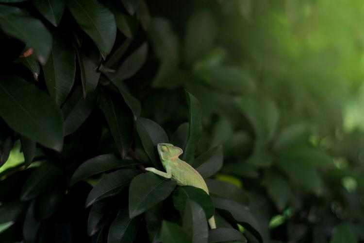 Calm Chameleon