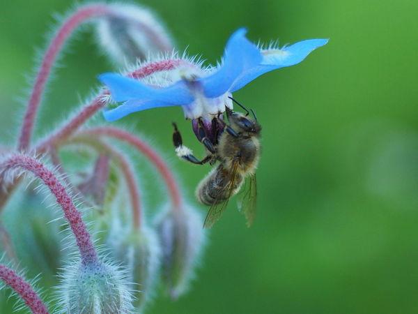 Bee Bee 🐝 Biene Bienen Bei Der Arbeit Blume Blumenfotografie Flower Flowers,Plants & Garden Insect Insect Photography Insekt Insekt On Flower Insekten Auf Blüten