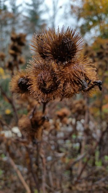No People Focus On Foreground Nature Close-up Outdoors Seed Pod New England  Change Autumn Collection Changing Seasons New Hampshire, USA Beauty In Nature Autumn Fragility Ecology Plant Life Cycles Season