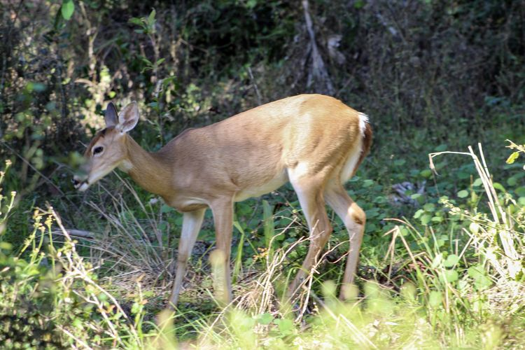 Side view of deer standing in forest