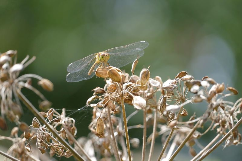 Close-up of dragonfly on wilted plant