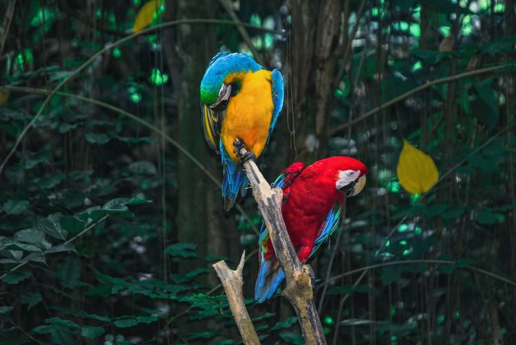A pair of macaws perching on branch