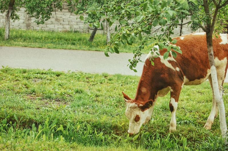Cow Beautiful