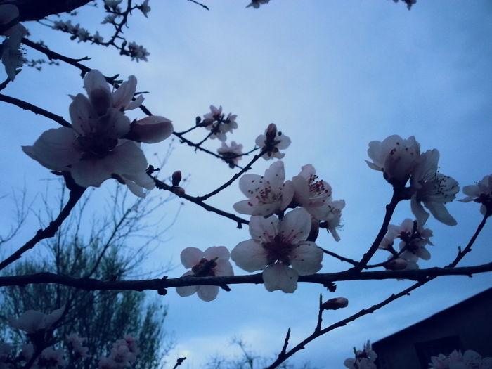 Showcase April Peacj Blossoms Blossoms