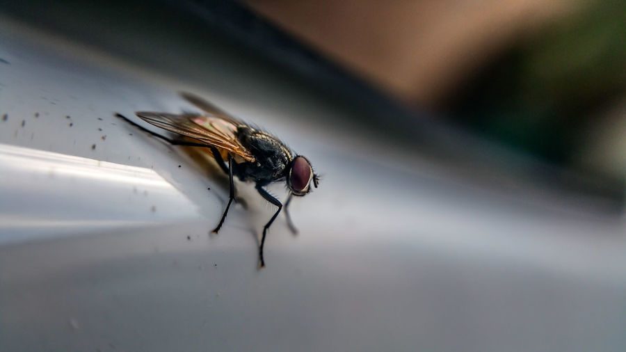 Close-up of housefly on metal