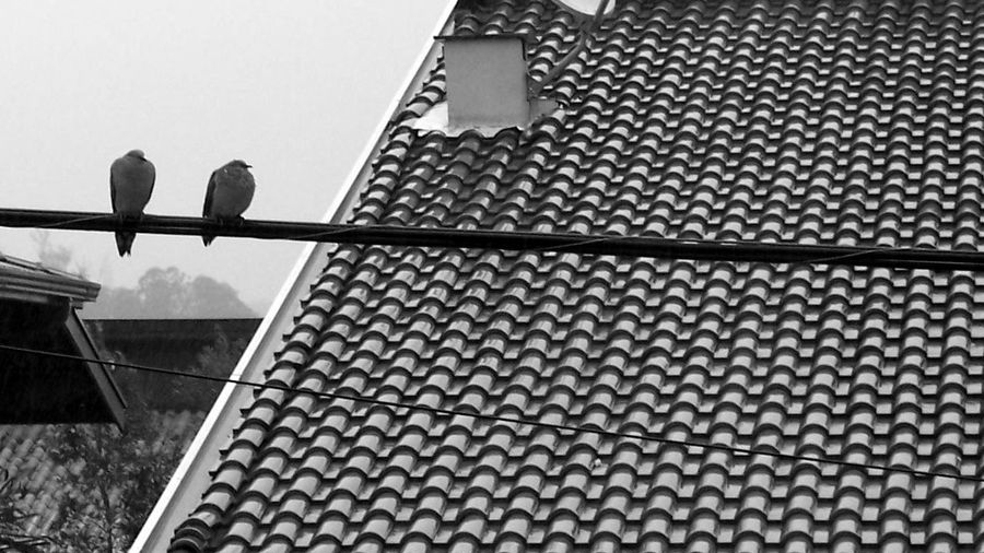Animal Themes Bird Cold Couple Dove No People Outdoors Pom Rain Telha Tile