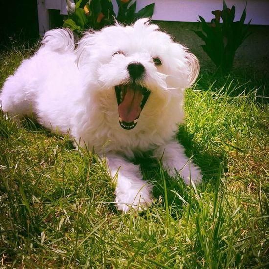 Dog Dogs Dog Love Cute Cute Pets Wink Eskipoo American Eskimo Mix Breed One Animal Grass Pets Domestic Animals Mouth Open Animal Themes Yawning No People Close-up Outdoors Mammal Day