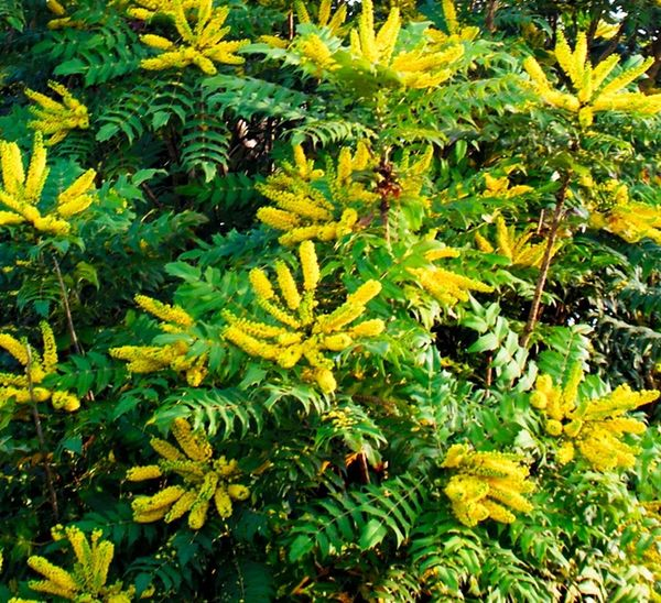 Mahonia Mahonia Flowers Growth Nature Green Color Yellow Plant Beauty In Nature No People Leaf Outdoors Close-up Fruit Day Tree Freshness Yellow Flower Yellow Bush Big Plant Backgrounds Garden