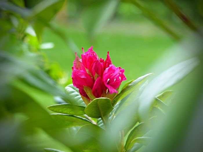Flowering Plant Plant Flower Beauty In Nature Freshness Close-up Pink Color Growth Fragility Petal Plant Part Vulnerability  Leaf Selective Focus Nature Green Color No People Flower Head Inflorescence Day Springtime