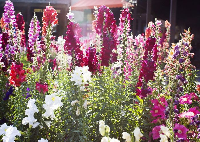 Burst Of Color Palm Springs American Beauty Urban Nature Snapdragon Colors Magic Hour Flowers