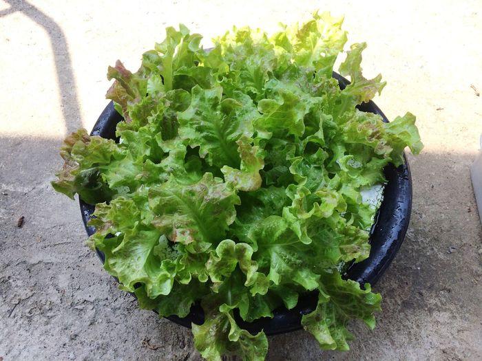 Salad hydroponic 🌿 Vegetable Healthy Eating Green Color Food Leaf Vegetable Leaf Freshness Eyeem Market EyeEm Gallery Eye4photography  Salad Hydroponic Vegetables Vegan