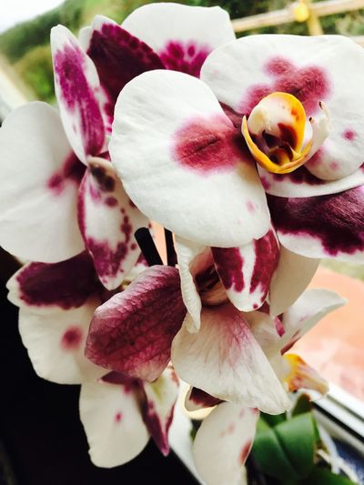 Flower Beauty In Nature Fragility Freshness Orchid Flower Collection Eye4photography  Flower In My Window