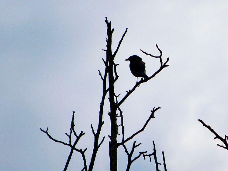 Scrubjay Bird In A Tree Birds🐦⛅ Birdwatching Bird Photography Birds_n_branches Single Bird No People