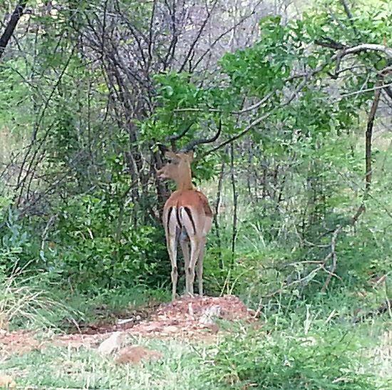 Male Impala Wildlife & Nature Beautiful ♥ Photographing Wildlife EyeEm Nature Lover No People