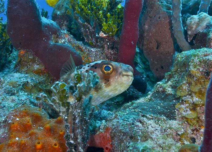 Bahamas Diodon Holocanthus Nassau Puffer Fish Spiny Porcupinefish Animal Animal Themes Animal Wildlife Animals In The Wild Balloonfish Carribean Fish Marine Nature One Animal Reef Life Rock - Object Sea Sea Life Solid Swimming UnderSea Underwater Vertebrate Water