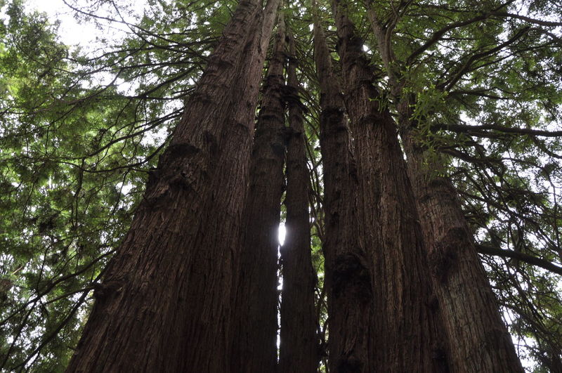 Branch Day Forest Growth Outdoors Redwood Trees Scenics Sky Tree Woods